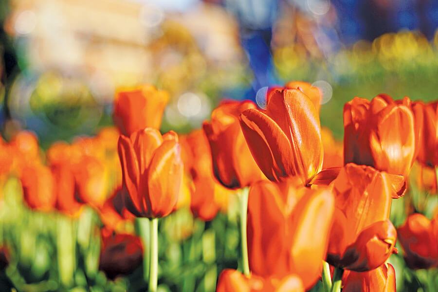 Photo: Tulip Time Festival